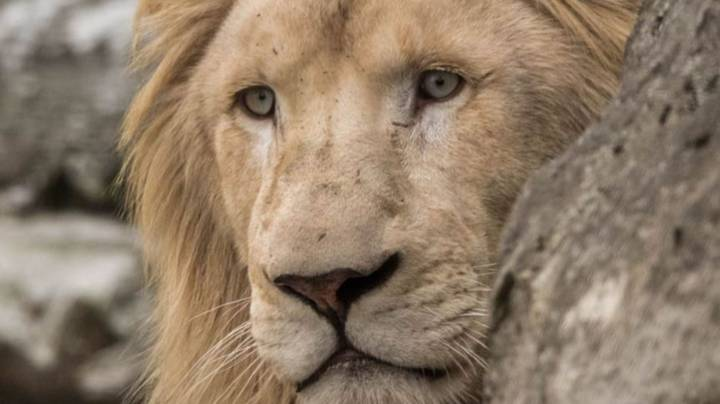 Zookeeper In Critical Condition After Being Mauled By Lion At Australian Zoo