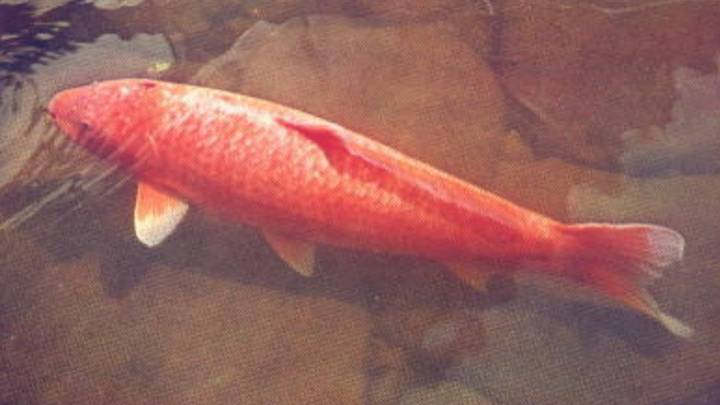 The World's Oldest Koi Fish Was 226 Years Old
