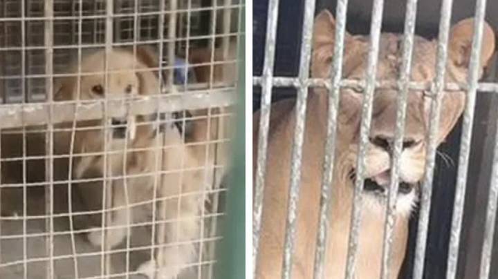 Zoo In China Tries To Pass Off Golden Retriever As Lion