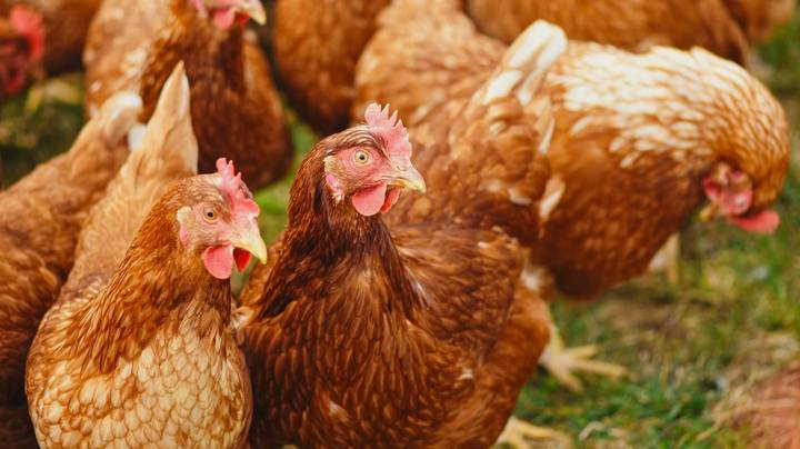 Man Accidentally Buys 1000 Hens For 75p