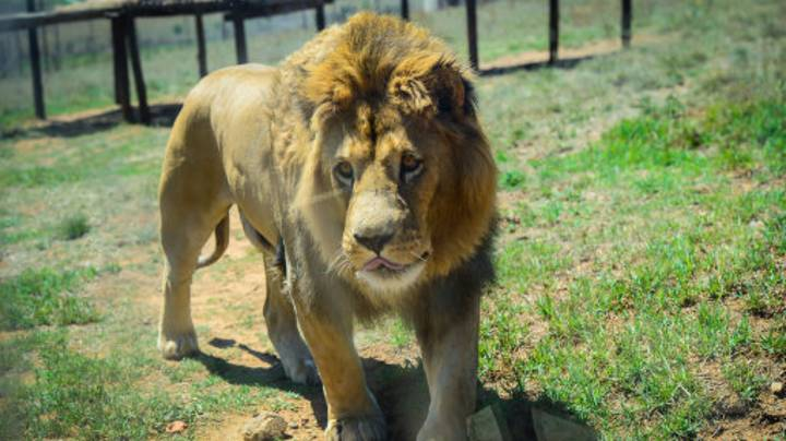 Christian 'Prophet' Has His Arse Torn To Shreds After He Said God Would Save Him From Lions