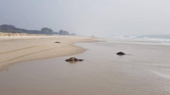 Dozens Of Dead Kangaroos Spotted On Australian Beach After Bushfire