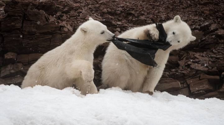 Polar Bear Cubs Photographed Attempting To Eat Plastic In The Arctic