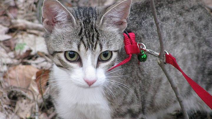 Darwin Council Passes Law Requiring Cats To Be Kept On Leash