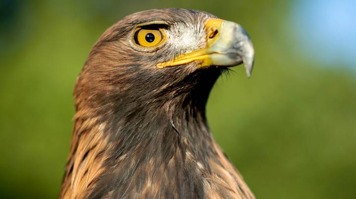 The Last Surviving Golden Eagle In Wales Has Been Found Dead