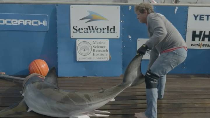 Scientists Haul Huge Great White Shark Onto Research Boat To Measure Penis
