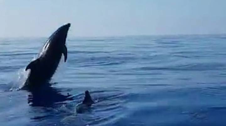 Mother Dolphin Jumps For Joy As Fishermen Release Calf From Net