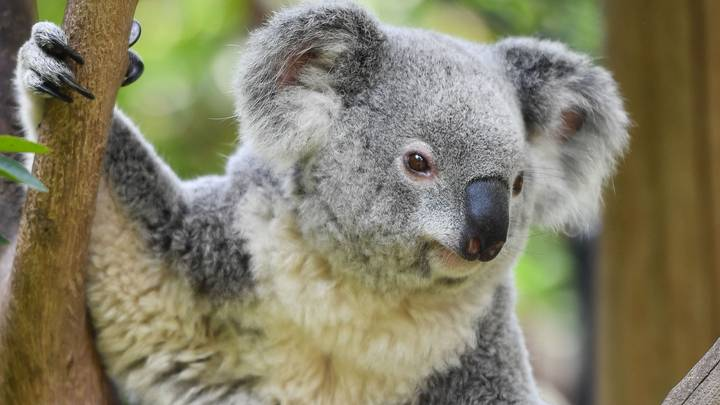 Koalas Will Be Driven To Extinction 'Well Before' 2050 In NSW, Inquiry Finds