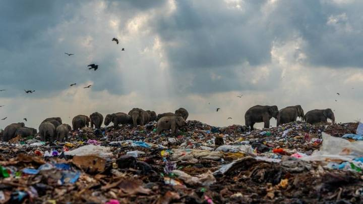 Grim Photo Of Elephants Foraging In Rubbish Dump For Food Wins Top Prize