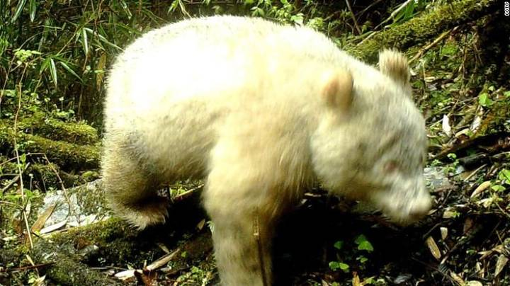 World's First Wild Albino Giant Panda Caught On Camera