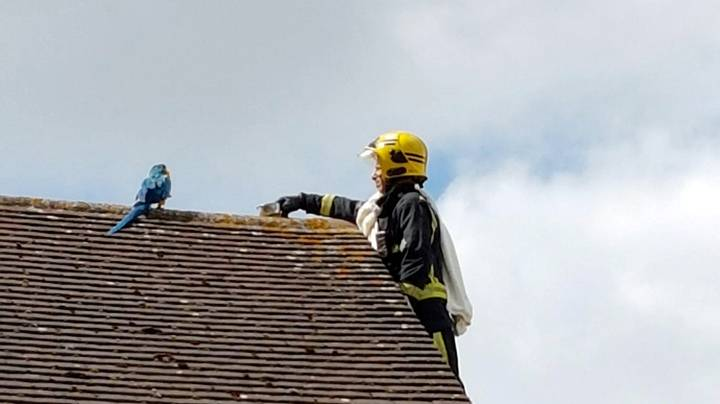 """Parrot Trapped On Roof Keeps Telling Fire Crew To """"F**k Off"""""""