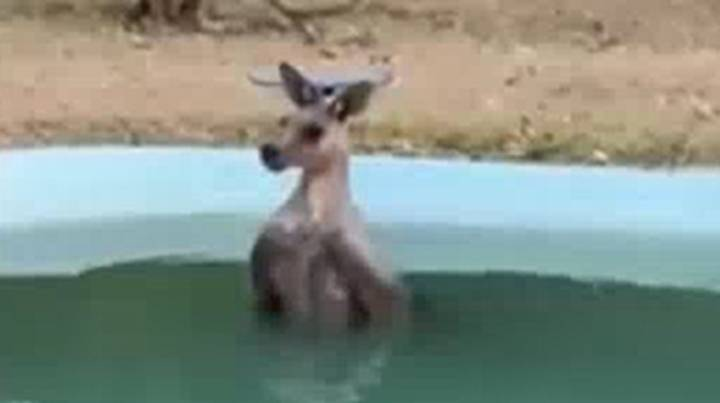 Kangaroo Spotted Relaxing In Pool To Get Away From Soaring Heat