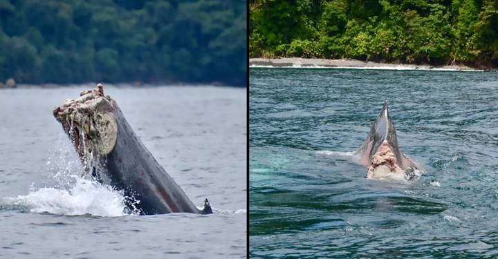Whale Filmed Swimming In Pacific Ocean With Missing Tail