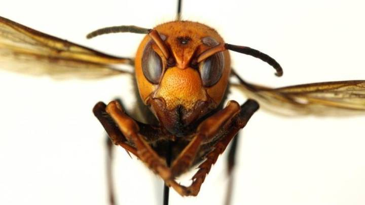 America Dealing With First Ever Outbreak Of 'Murder Hornets'