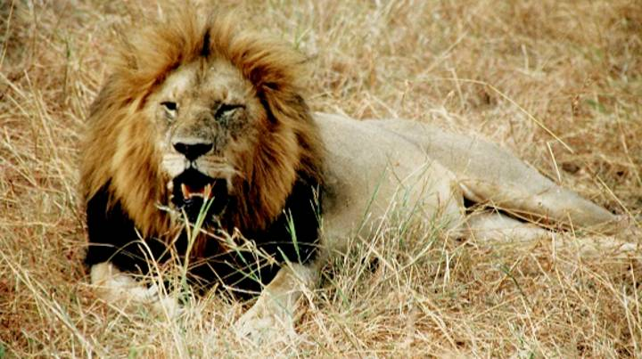 Three Poachers Are Eaten By Lions At South African Nature Reserve