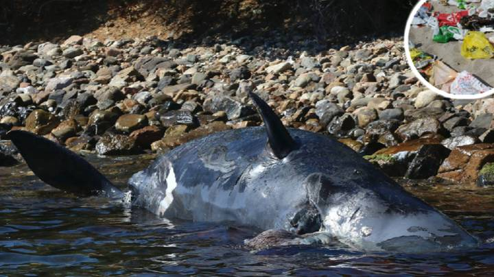 Whale Washes Up Dead On Italian Shore After Eating 22kg Of Plastic