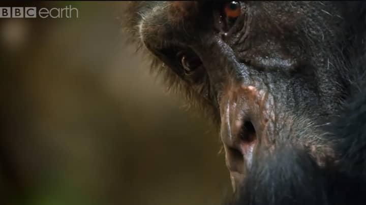 The Harrowing Story Of The  'Dynasties' Chimpanzee Tribe