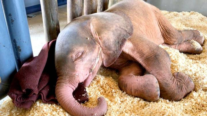 Albino Elephant Calf Rescued After Being Trapped In Snare For Four Day