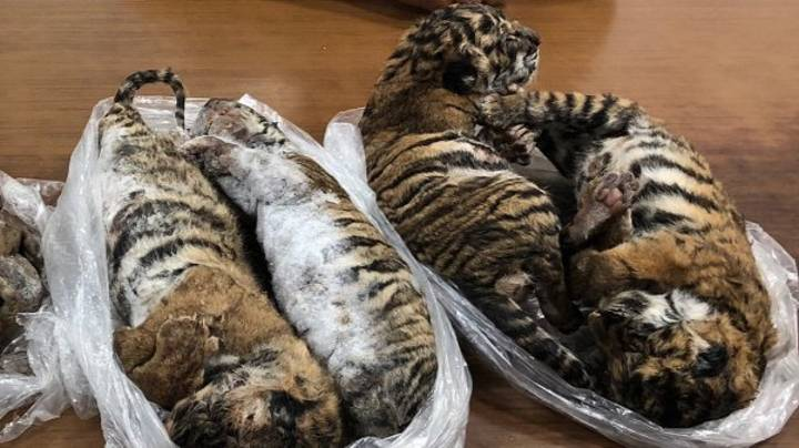 Smuggled Tiger Cubs Found Dead In Back Of Car In Vietnam