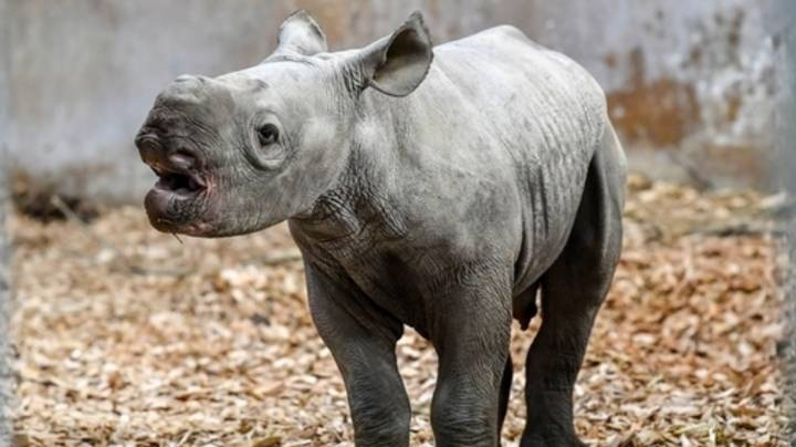 People Are Shocked By The Noise Baby Rhinos Make