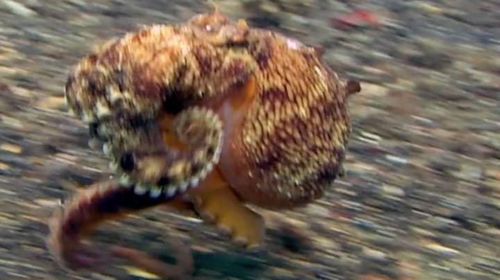 Bizarre Video Shows How Octopuses 'Walk' On Sea Floor