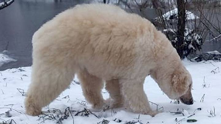 Groomer Transforms Dog Into Very Realistic-Looking Polar Bear
