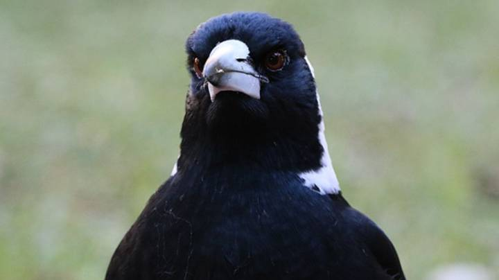 Magpies Will Be Killed In Sydney After Shocking Series Of Swooping Attacks