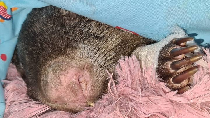 Wombat Shot 26 Times In 'Shocking' Animal Cruelty Attack In South Australia