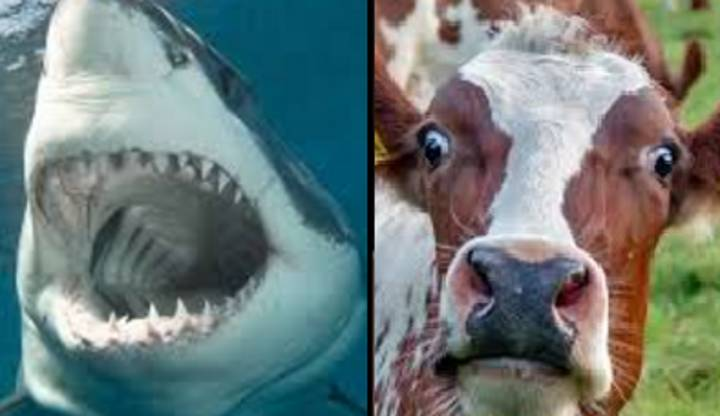 Watch: Shark Eating A Cow In The Middle Of The Ocean