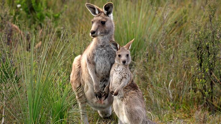 Two Teenagers Have Been Charged After 14 Kangaroos Were Deliberately Killed
