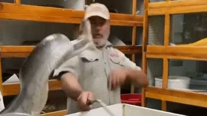 Huge Snake Almost Takes The Face Clean Off Reptile Zoo Keeper