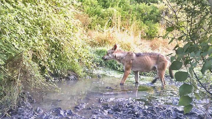 Wolves Found Living On Rome Outskirts For First Time In A Century