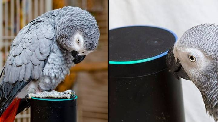 Parrot Falls In Love With Alexa And Keeps Ordering Things From Amazon