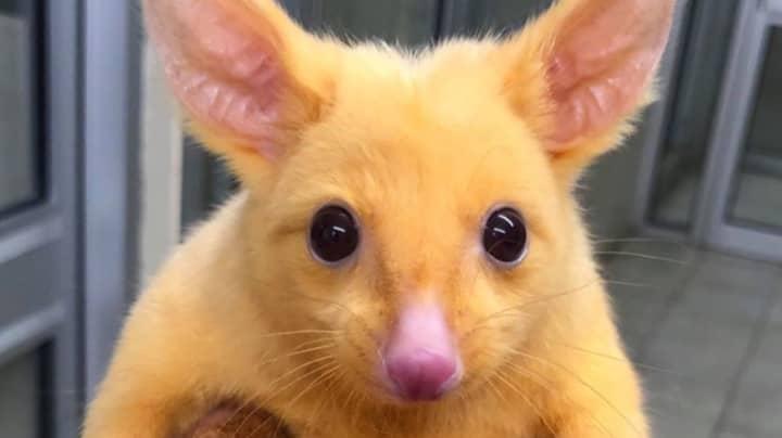 Rare Golden Possum Found In Australia Looks Just Like Pikachu