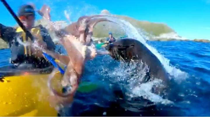 The Clever Reason Why A Seal Slaps Kayaker In Face With An Octopus