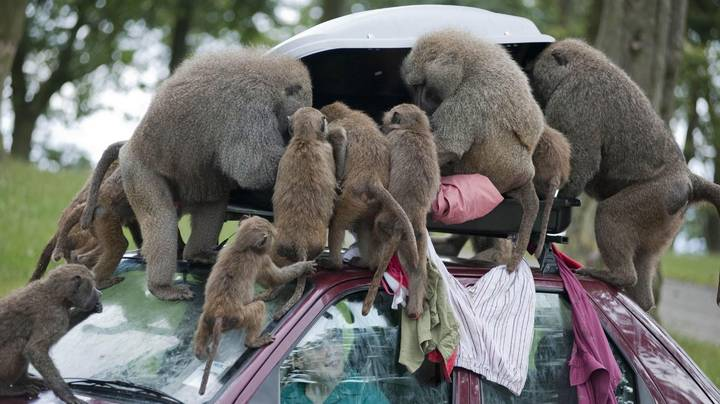Baboons With Knives Reported To Be Roaming Around Knowsley Safari Park