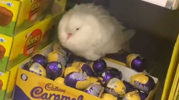 Confused Pigeon Filmed Guarding Box Of Cadbury Chocolate Eggs At Tesco