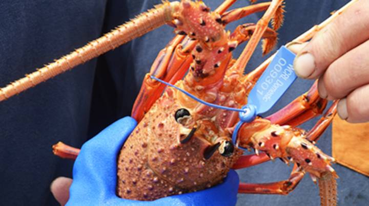 Woolworths And Coles Are Selling Whole Lobsters At Half Price Ahead Of Christmas