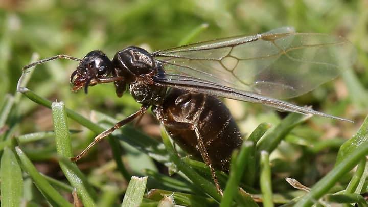 Huge Swarms Of Flying Ants Descend On UK