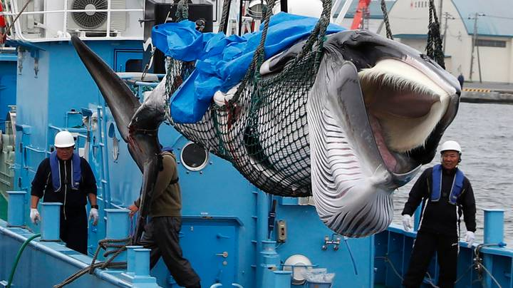 First Whale Brought Back To Shore After Japan Reinstates Commercial Whaling