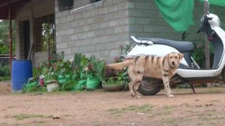 Farmer Paints Dog With Tiger Stripes To Scare Away Monkeys