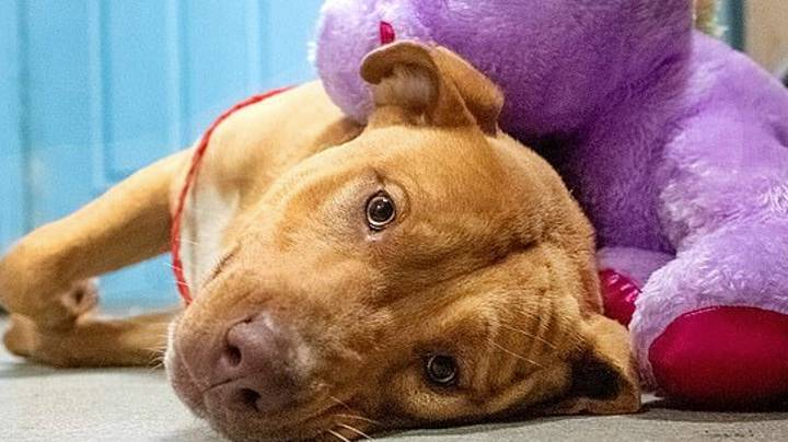 Stray Dog Gets Beloved Purple Toy Bought For Him After He Stole It From A Store Five Times