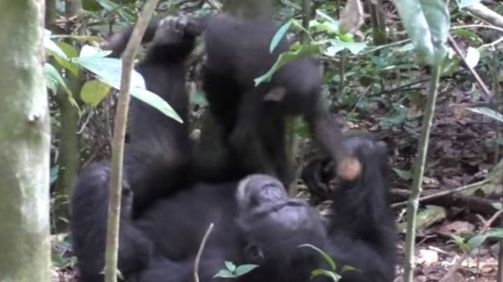 Heartwarming Footage Shows Chimp Playing 'Airplane' With Baby