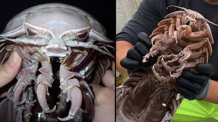 Gruesome Looking Sea Cockroach Looks Like Darth Vader