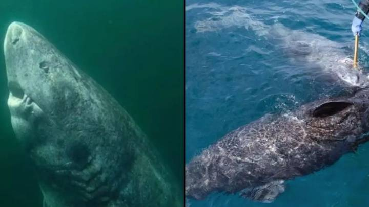 World's Oldest Living Shark Believed To Be 397 Years Old