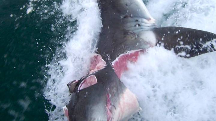 Great White Sharks Bite Chunks Out Of Each Other In Frenzied Attack
