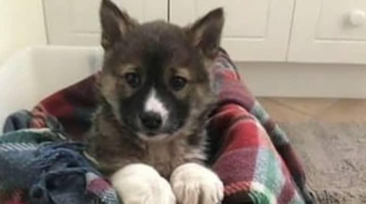 Ultra Rare Purebred Alpine Dingo Puppy Discovered In Australia