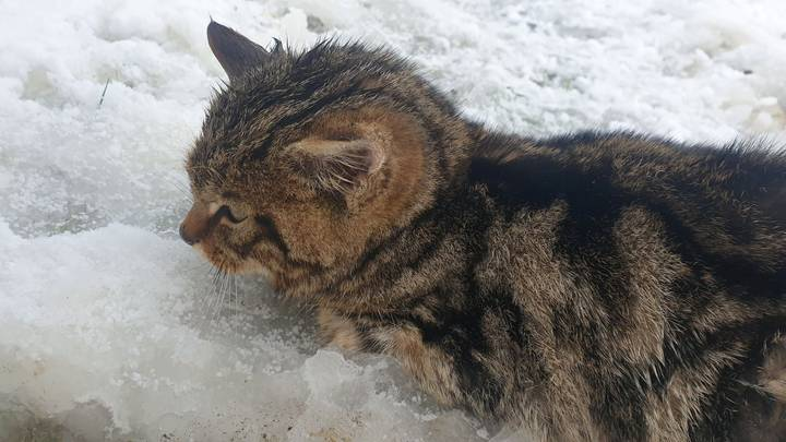 Rescued Kitten Turns Out To Be Extremely Rare Scottish Wildcat