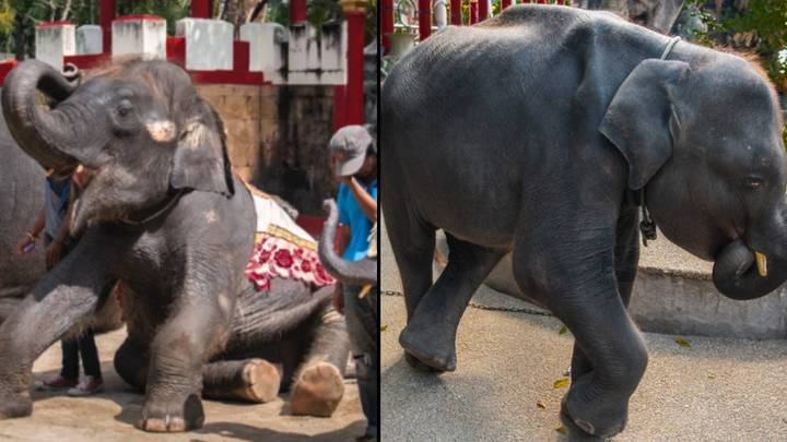 'Real Life Dumbo' Dies After His Back Legs Snap While Performing Tricks At Thai Zoo