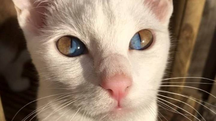Rare Genetic Condition Leaves Cat With Dazzling Two-Tone Eyes